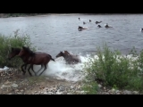 Кони переплывают реку Баргузин
