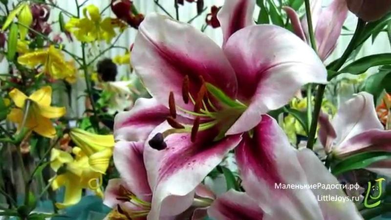 Выставка Лилии красота аромат и радость