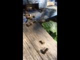 Пчёлы изгоняют трутней из улья 29 августа 2018 г.