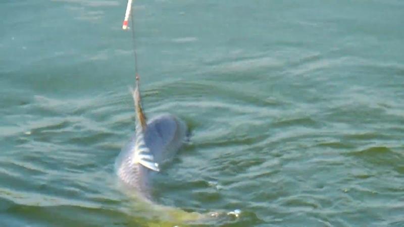 Big Fishing Videos By Azim In Village Pond