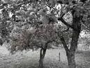 Высоцкий В. С. Баллада о райских яблоках (кавер)