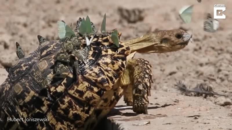 Бабочки прокатились на спине черепахи