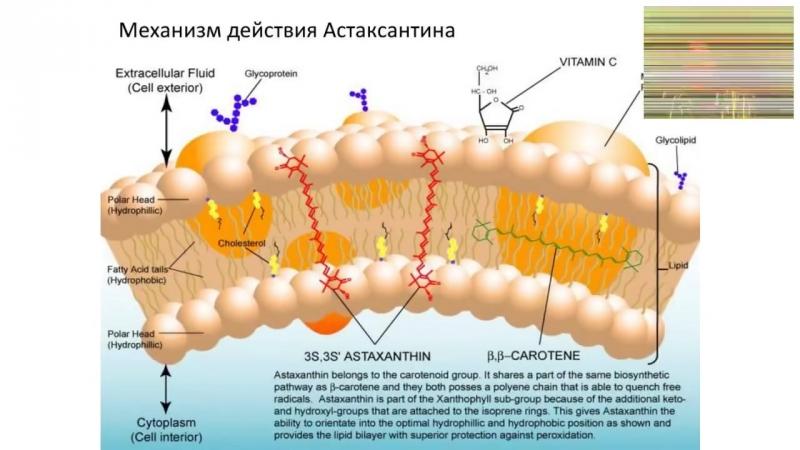 АСТАКСАНТИН - НАШ ЗАЩИТНИК И ХРАНИТЕЛЬ!