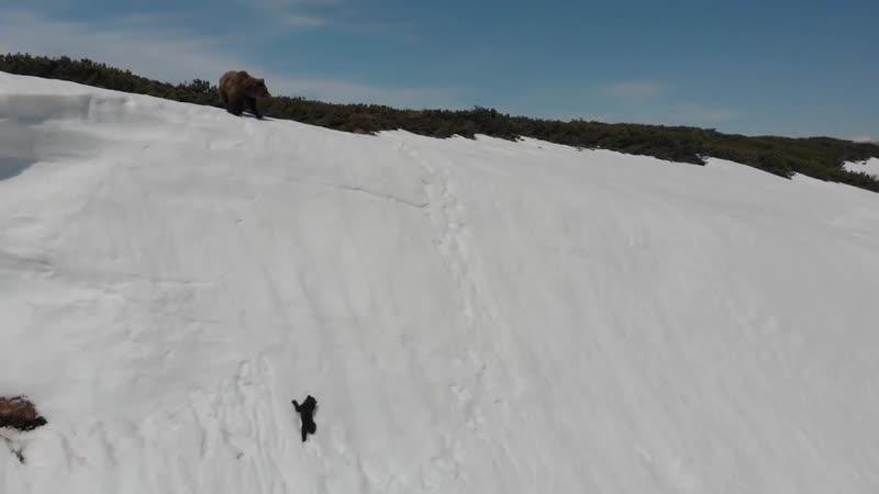Медведица с медвежонком забираются на очень крутой склон