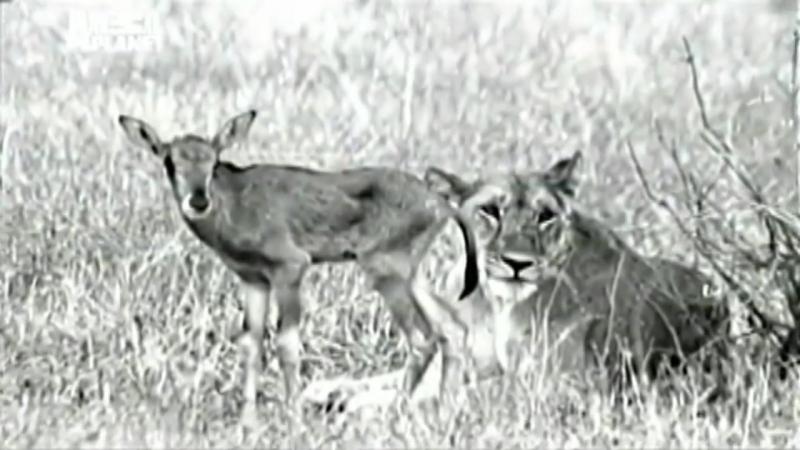 Львица компенсирует утрату своих детёнышей детёнышем антилопы Чувства горечь утраты