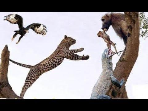 Đại Bàng vs rồng komodo Lizard vs Báo đốm Loài nào săn mồi nguy hiểm nhất thế giới
