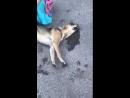 Тольятти, отравили собаку на Кулибина 2.mp4