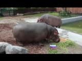 Бегемоты из Калининградского зоопарка сделали прогноз на матч Россия – Саудовская Аравия