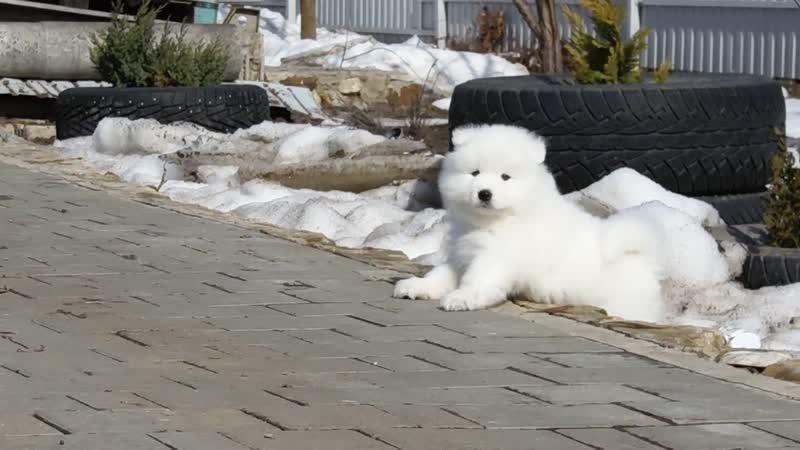 Снежная Руссия ЦЕСЕЙ Снежная Руссия Лукьян Белый Волк Огара