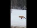 Лисица, не обращая внимания на молодого человека, остановившегося рядом, продемонстрировала свои охотничьи навыки.