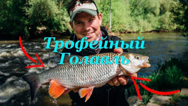 Трофейный голавль малой реки. Снасти и приманки - Fishing Today.