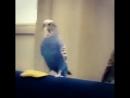 Попугай-задира