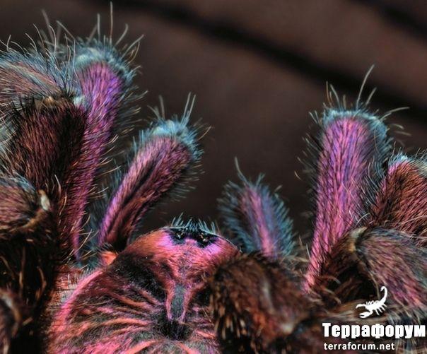 Phormictopus-cancerides