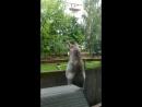 Хаски Грей выбрался на балкон