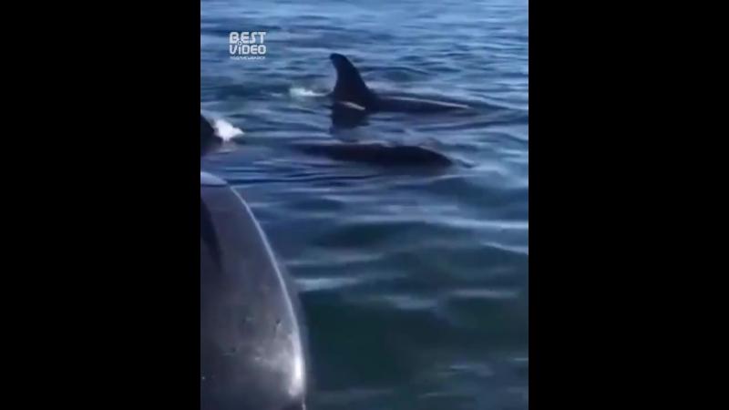Тюлень запрыгнул в лодку спасаясь от косаток
