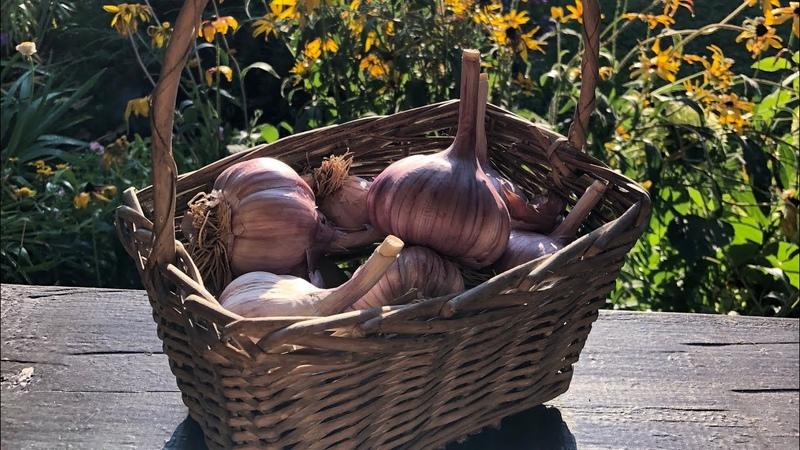 Как получить крупный урожай с озимого чеснока?   Правильная посадка чеснока!