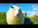Притча про Колдуна и овец