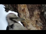 Медленный и сильный дятел крушит березу мощным клювом в поисках личинок жука короеда