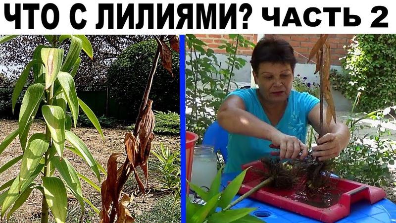 Лилии осенью Обратите внимание Черные листья на лилиях ЧАСТЬ 2 как лечить лилии