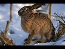18 ОЧЕРЕДНАЯ НОРМА ПО ЗАЙЦУ В САДУ охота на зайца декабрь сезон 2018