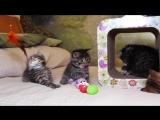 Британским котятам 5 нед, Litter-H2