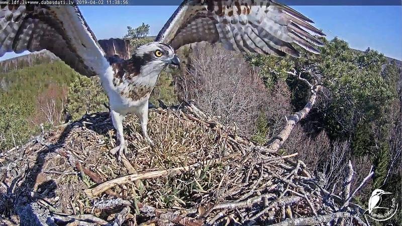 LDF Zivjērglis ~Osprey lands at th enest~11:38 AM 2019/04/02