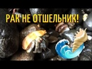 Раки-отшельники на пляже в КОСТА РИКЕ / Морские обитатели КОСТА-РИКИ
