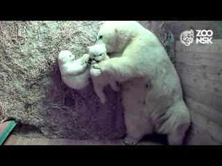 Первые прогулки белых медвежат