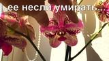 орхидея ФРОНТЕРА уценка за 199 рублей, на 3 дня в отстойник