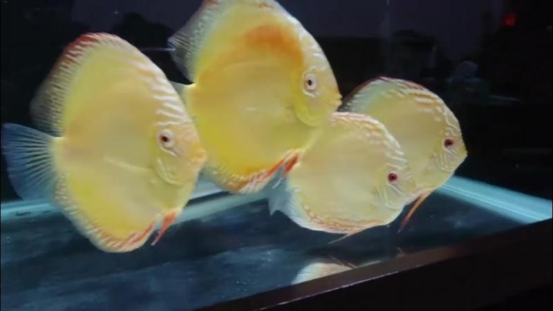 Красный Туркис альбинос от 林家偉