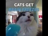 У котиков замерзает мозг от мороженого