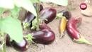 Блог садовода и огородника Светланы Кацаповой 88 вып баклажаны, томаты