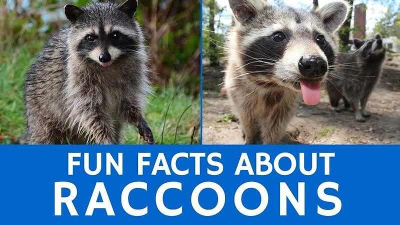Interesting Facts about Raccoons – Cute Animal Video for Kids and School Learning