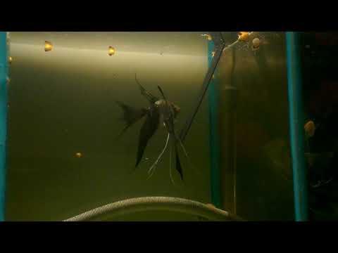Smokey Angelfish
