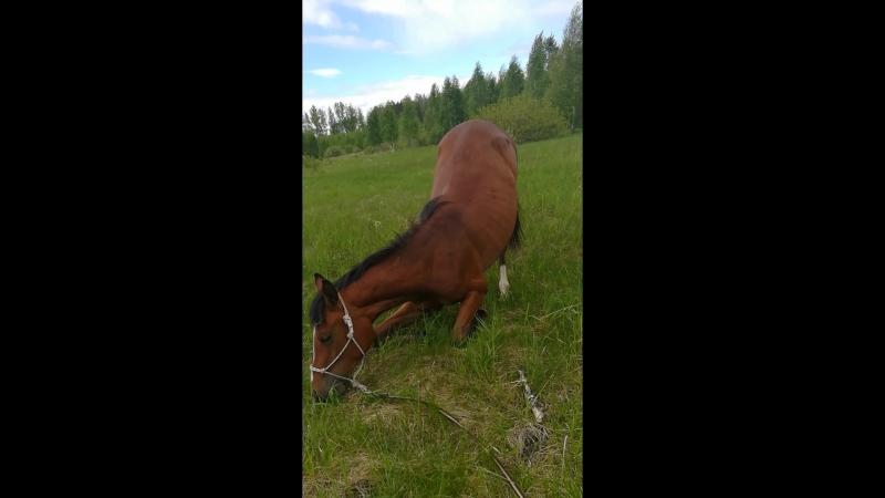 Если конь не хочет работать на корде, он встает на колени и просит о пощаде😂😂😂