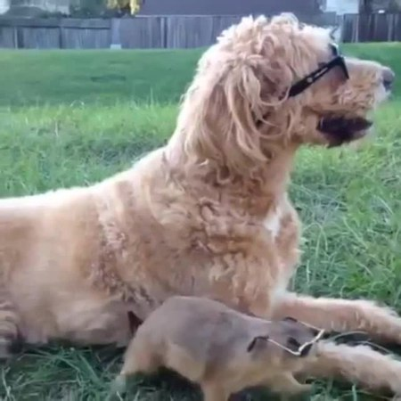 Dog swag coub
