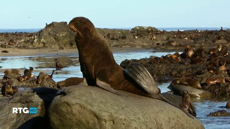 067 Животный мир Командорского архипелага (RTG TV HD)