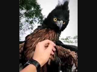 Черно-каштановый Орел