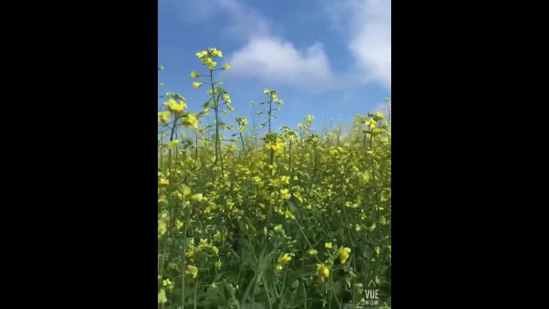 油菜花 цветок рапса
