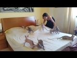 Котята сфинкса помогают заправлять кровать