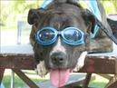 Рубин питбуль Лучшая собака