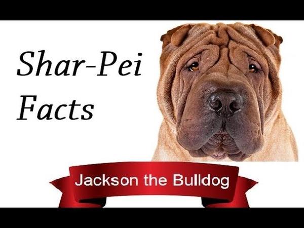 Shar Pei Facts