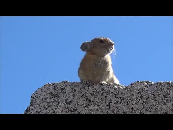 Conheça o roedor que incorporou Freddie Mercury