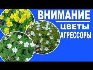 Цветущие растения, которые могут засорить ваши цветники. 17 растений