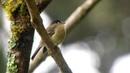 Black capped flycatcher Черношапочный эмпидонакс Empidonax atriceps