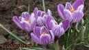Первые цветы на клумбе. Посадка и весенний уход за крокусами