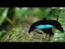 Cornell Lab of Ornithology - Vogelkop superb bird-of-paradise (Lophorina niedda)