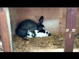 Кролики занимаются любовью...