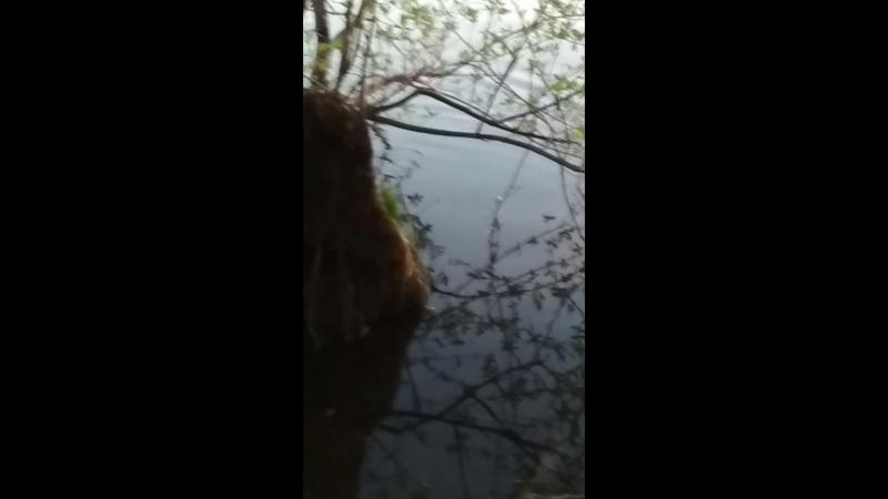 Ондатра, водяная крыса