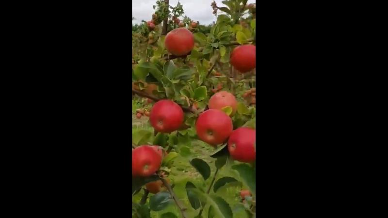 Красивый яблоневый сад.mp4